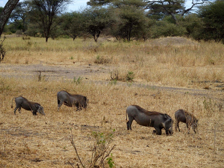 Phacochères dans le parc Terangire Tanzanie