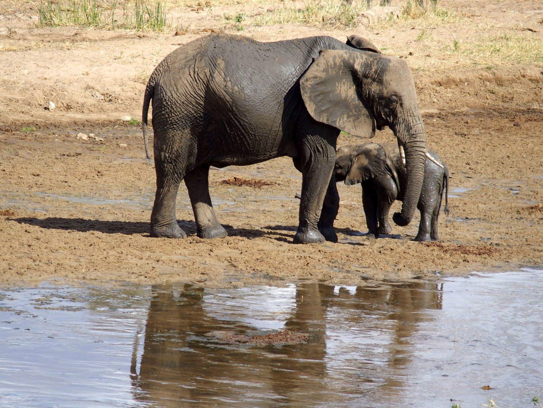 Sortie du bain éléphants parc Tarangire Tanzanie