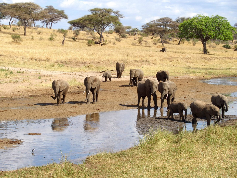 Troupeau d'éléphants parc Tarangire Tanzanie