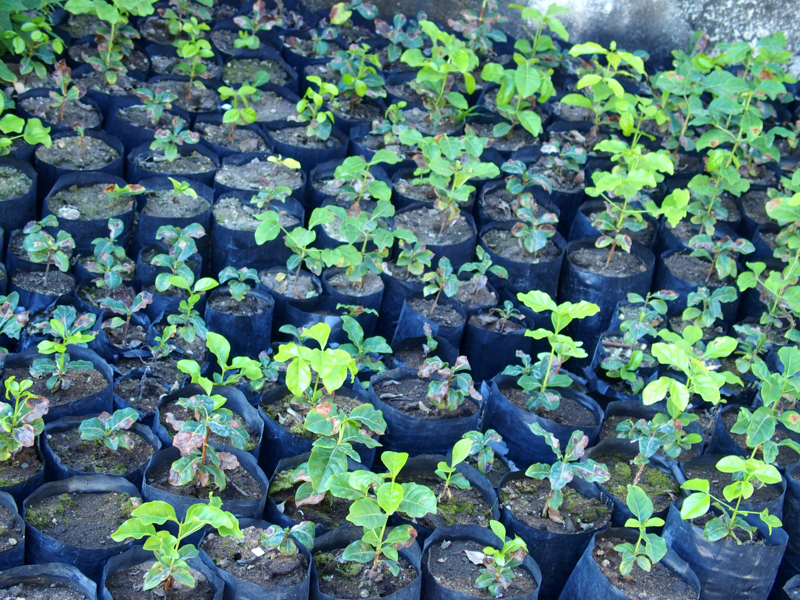 Petits plans de caféiers Ile Ibo Mozambique