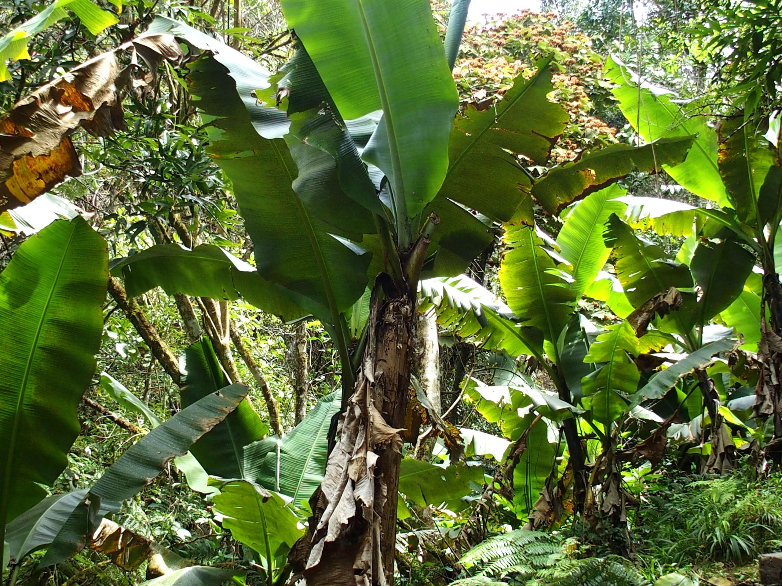 Bananiers-dans-parc-Ranomafana-Madagascar.
