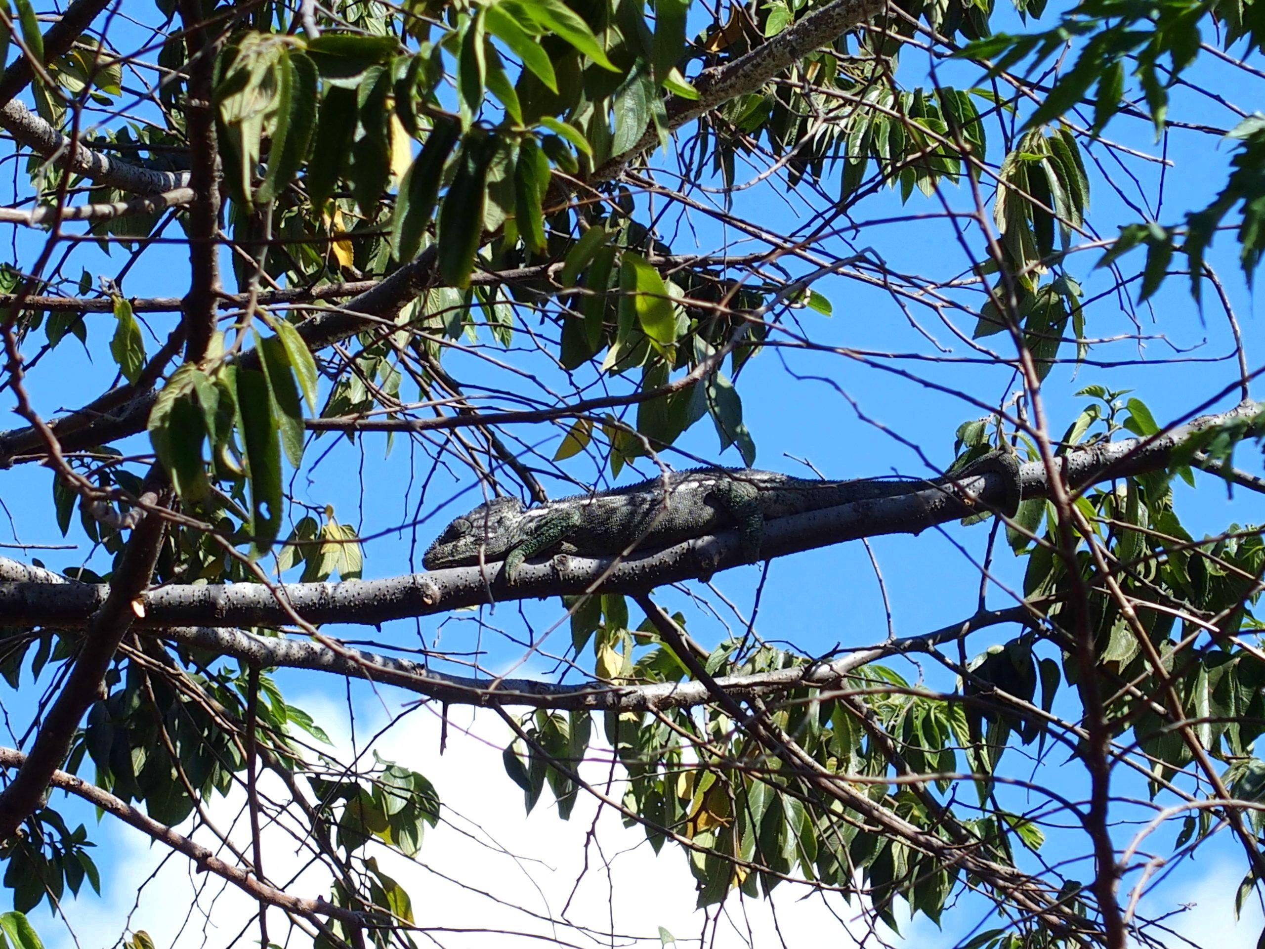 Caméléon gris parc Ranofamana Madagascar.