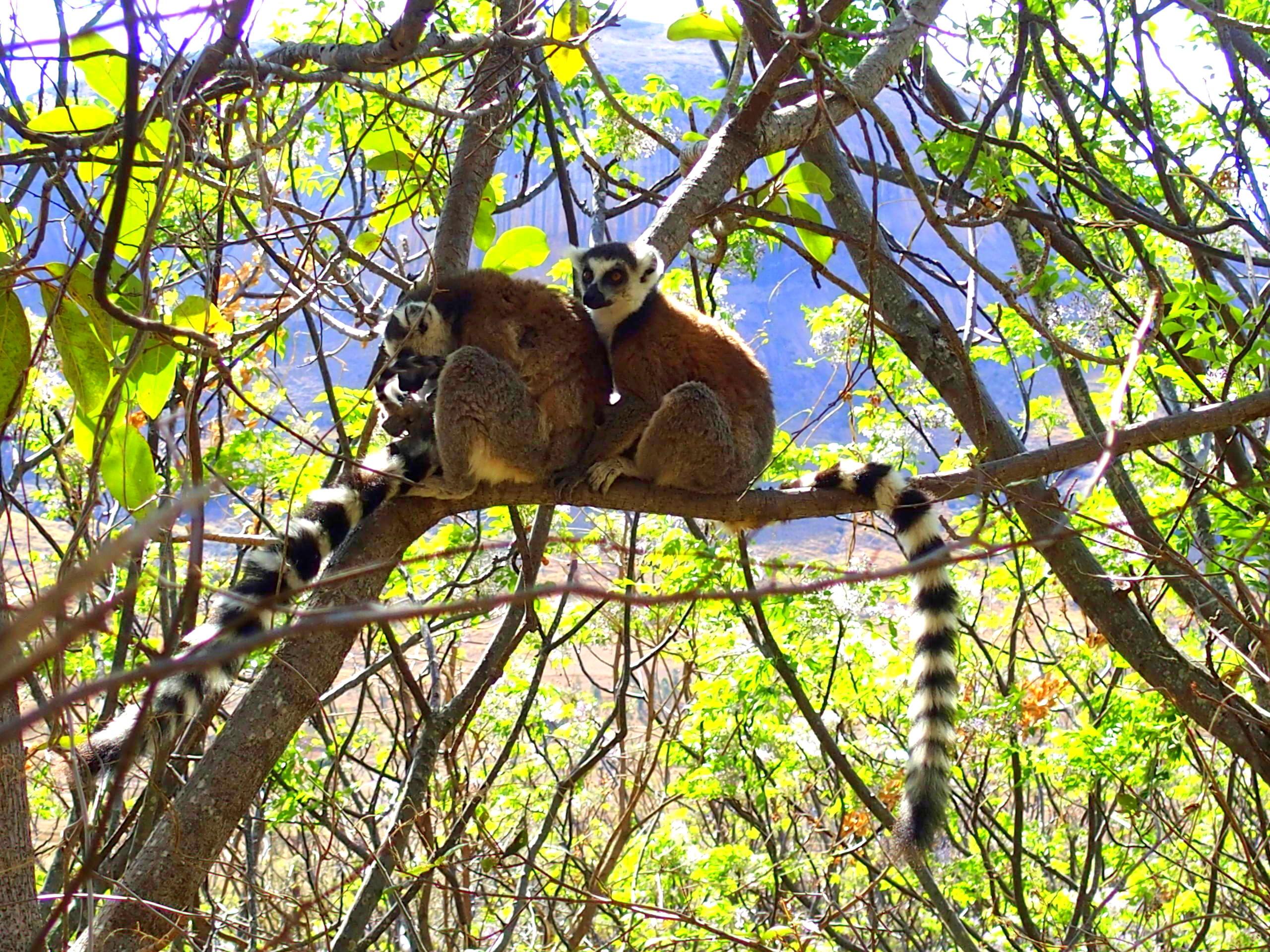 Duo-de-makis-Ranomafana-Madagascar.