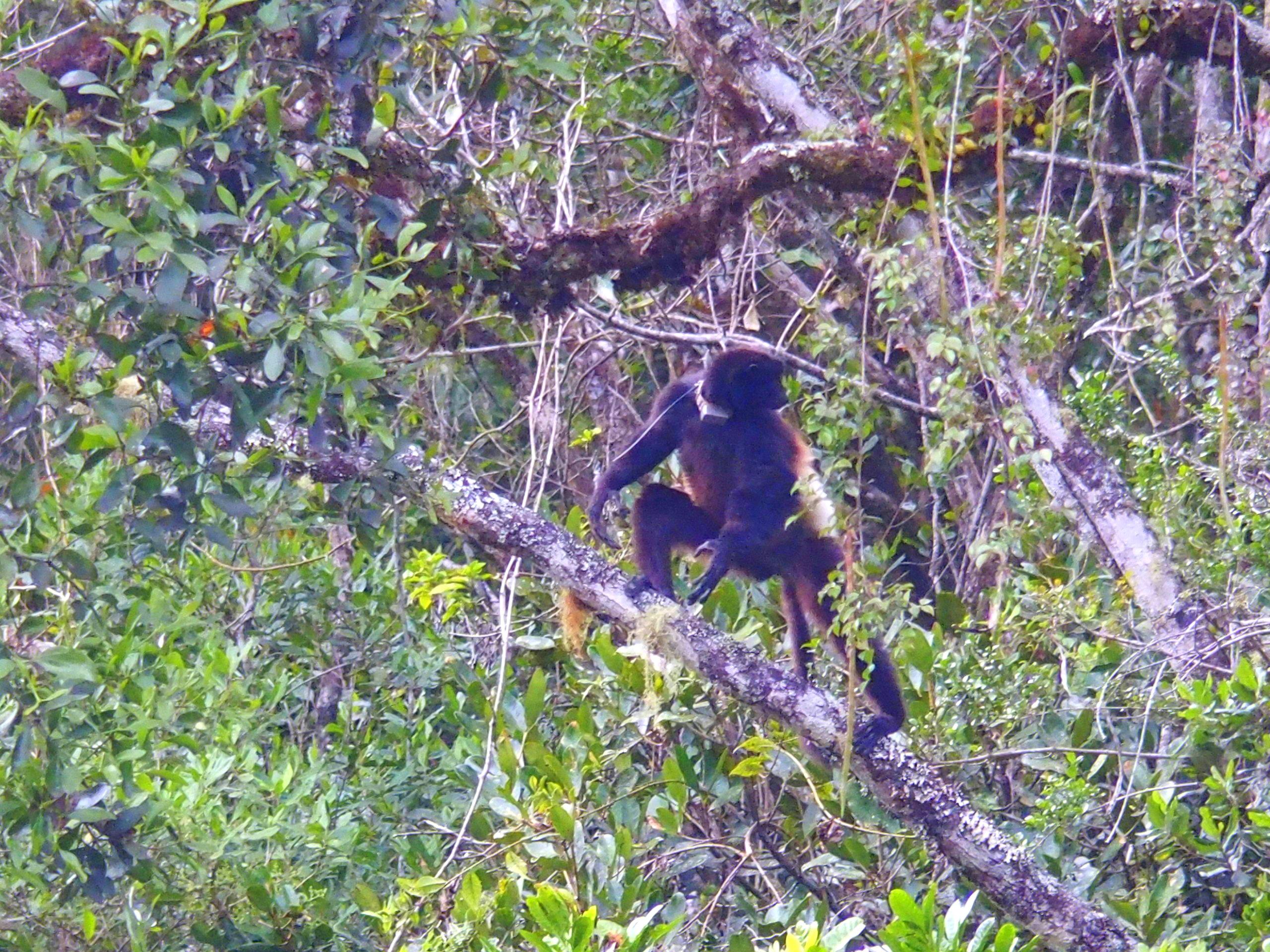 Lémur-fauve-dans-les-arbres-Madagascar