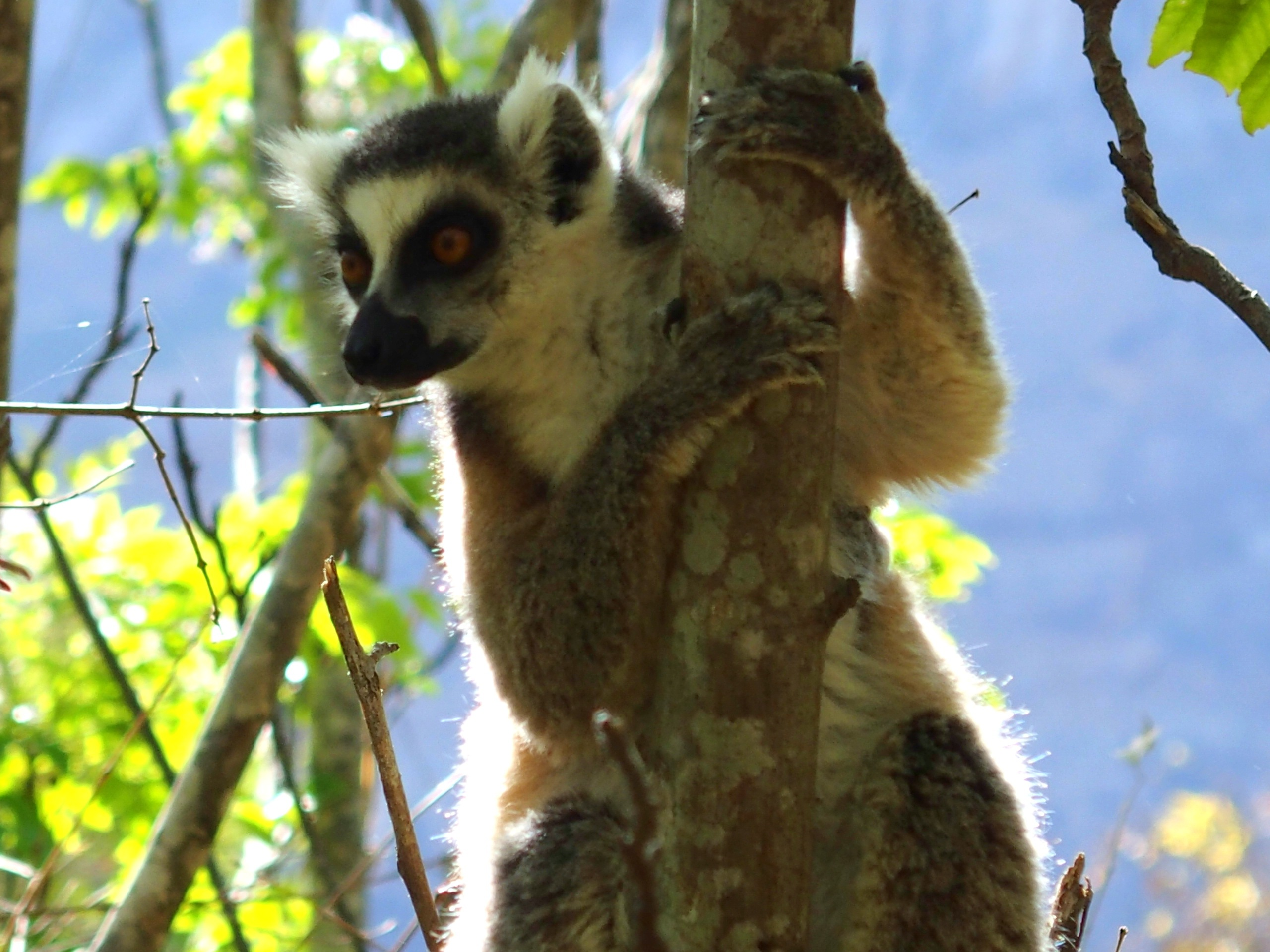Lémurien Maki Madagascar
