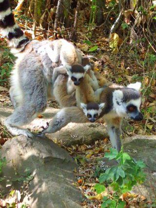 Tout savoir sur les lémuriens de Madagascar