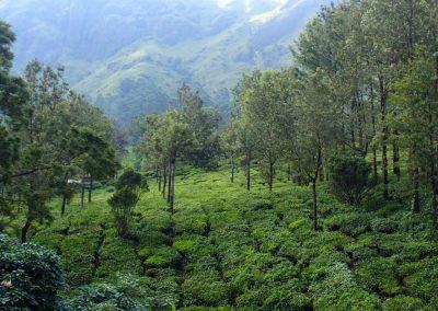 Plantations de thé Munnar Inde