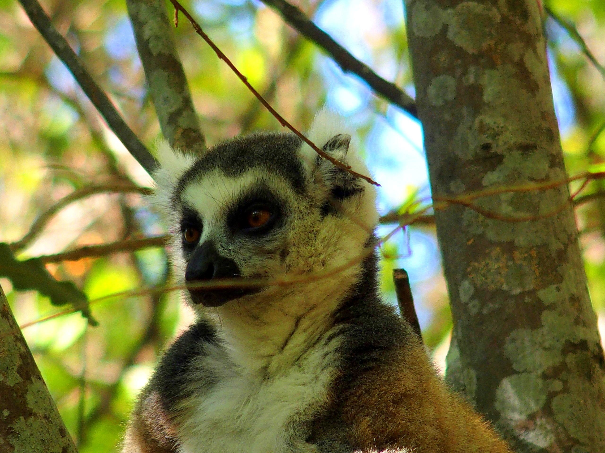 Tête de lémurien Madagascar.