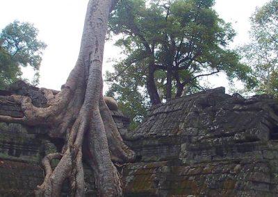 Arbre dans temple Cambodge