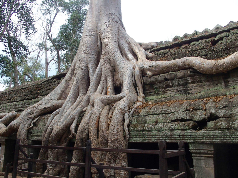 Arbre sur temples Angkor Ta Phrom Cambodge