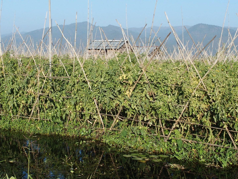 Potager sur lac Inle Birmanie