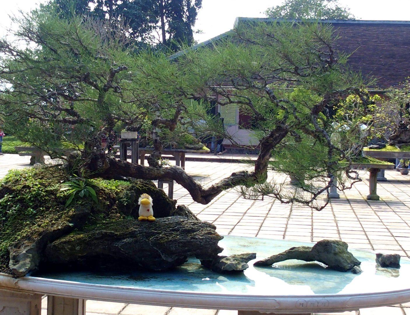Couinn-Couinn sur bonsaï Hué Vietnam