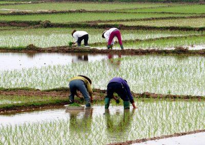 Travail dans les rizières Vietnam
