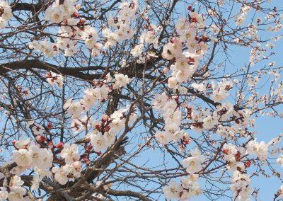 Cerisier en fleurs Corée du sud