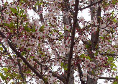 Cerisier en fleurs Japon