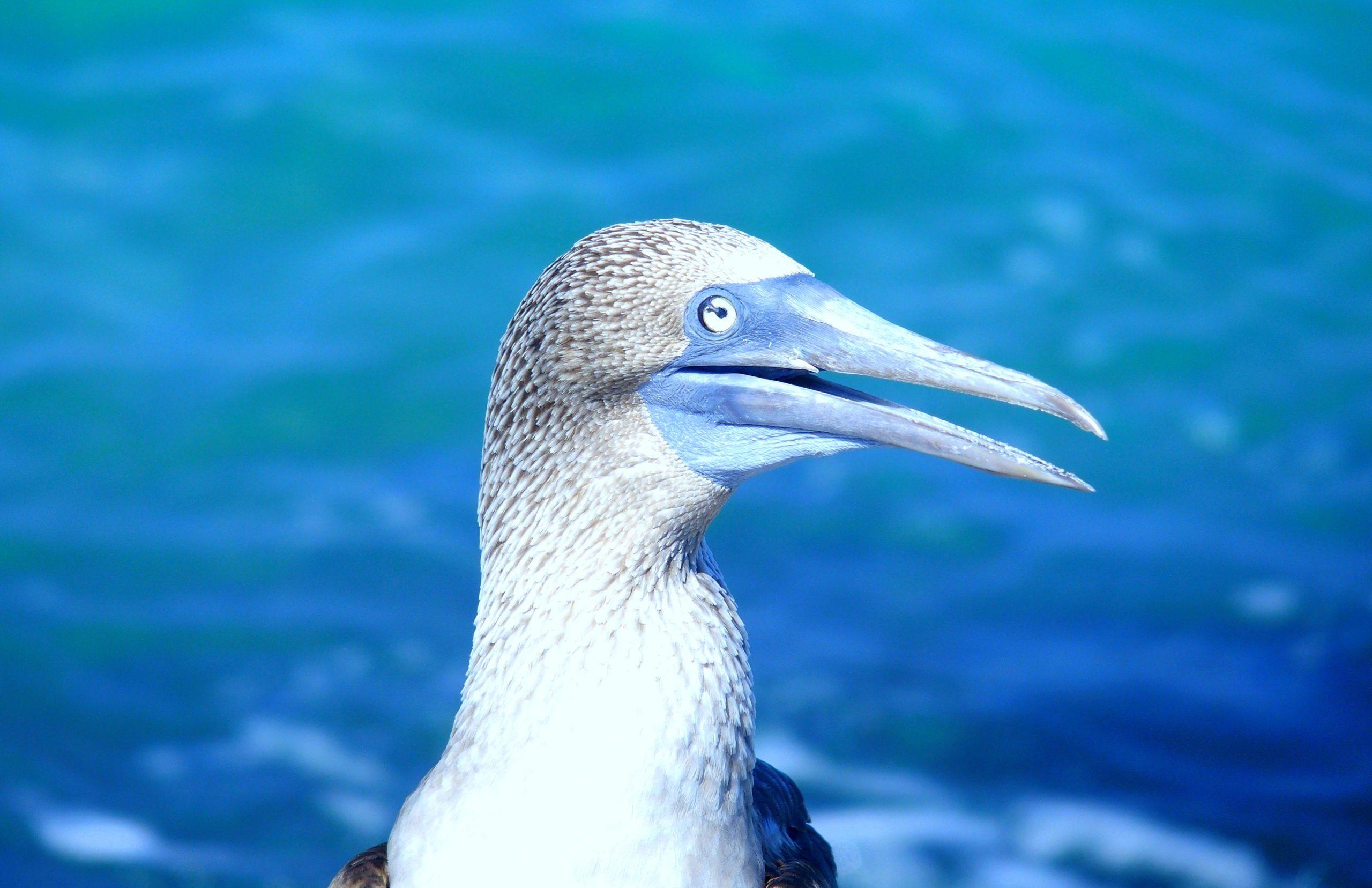 Bec bleu d'un fou à pattes bleues île San Critobal Galapagos