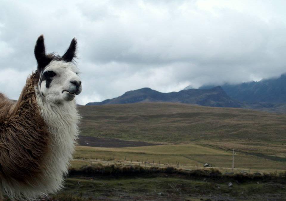 Un lama peut en cacher un autre…
