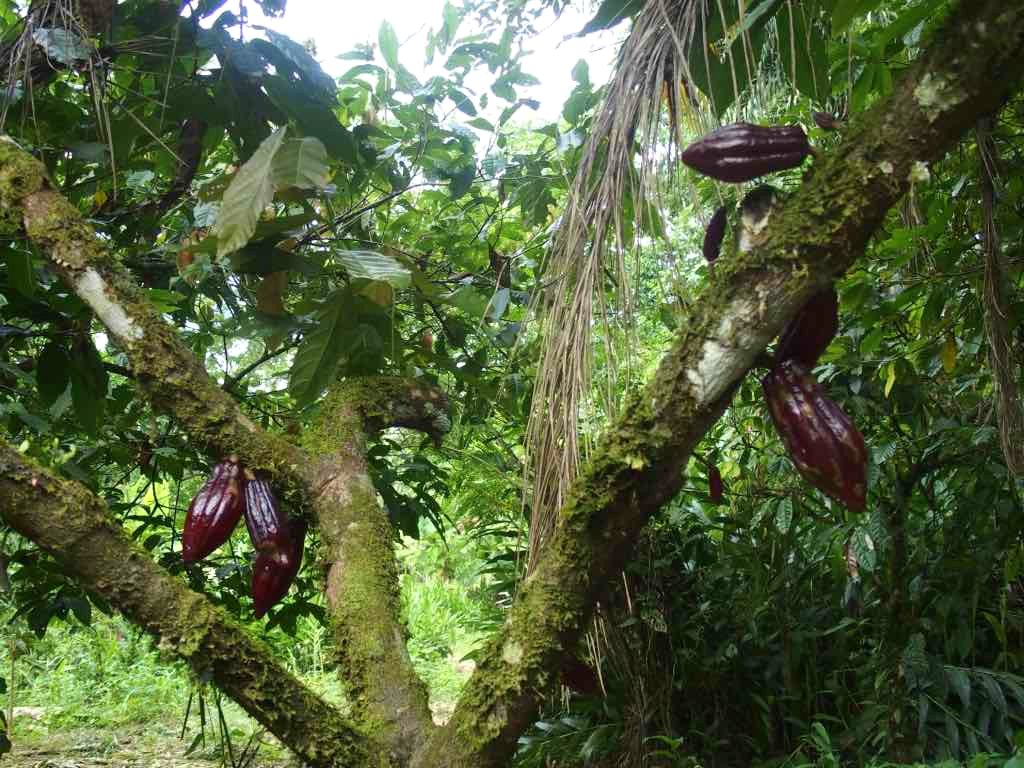 Cabosses de cacao Amazonie Equateur