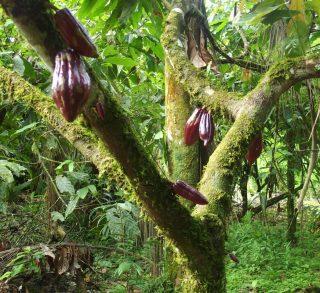 Du cacaoyer à mon assiette, j'ai fait mon propre chocolat en Amazonie !
