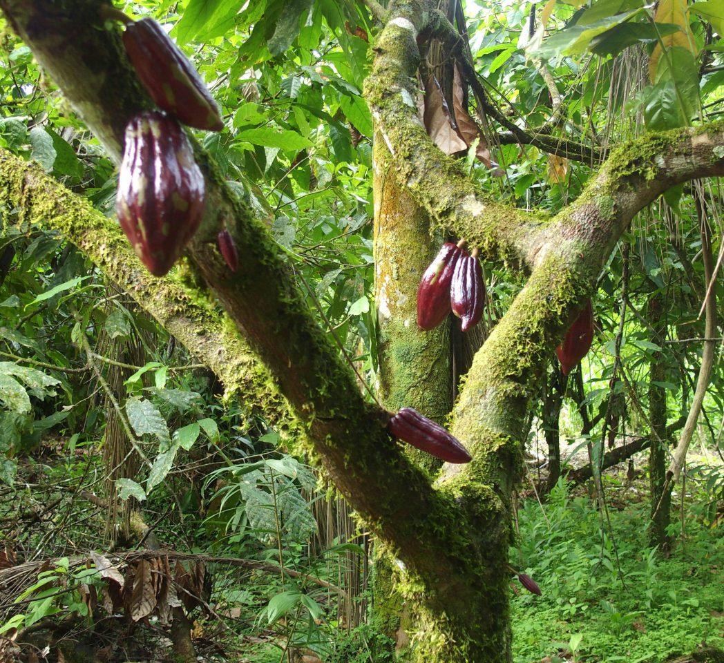 Cacaoyier en Amazonie équatorienne