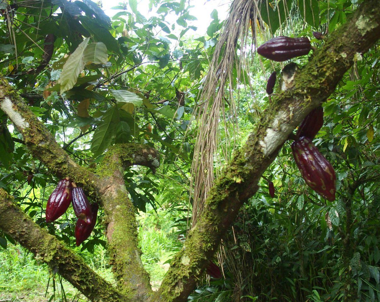 Cacaotier avec des cabosses