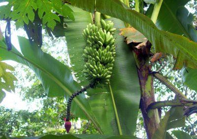 De bonnes bananes à cueillir sur l'arbre