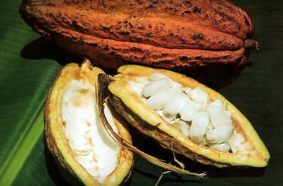 fèves dans la cabosse de cacao