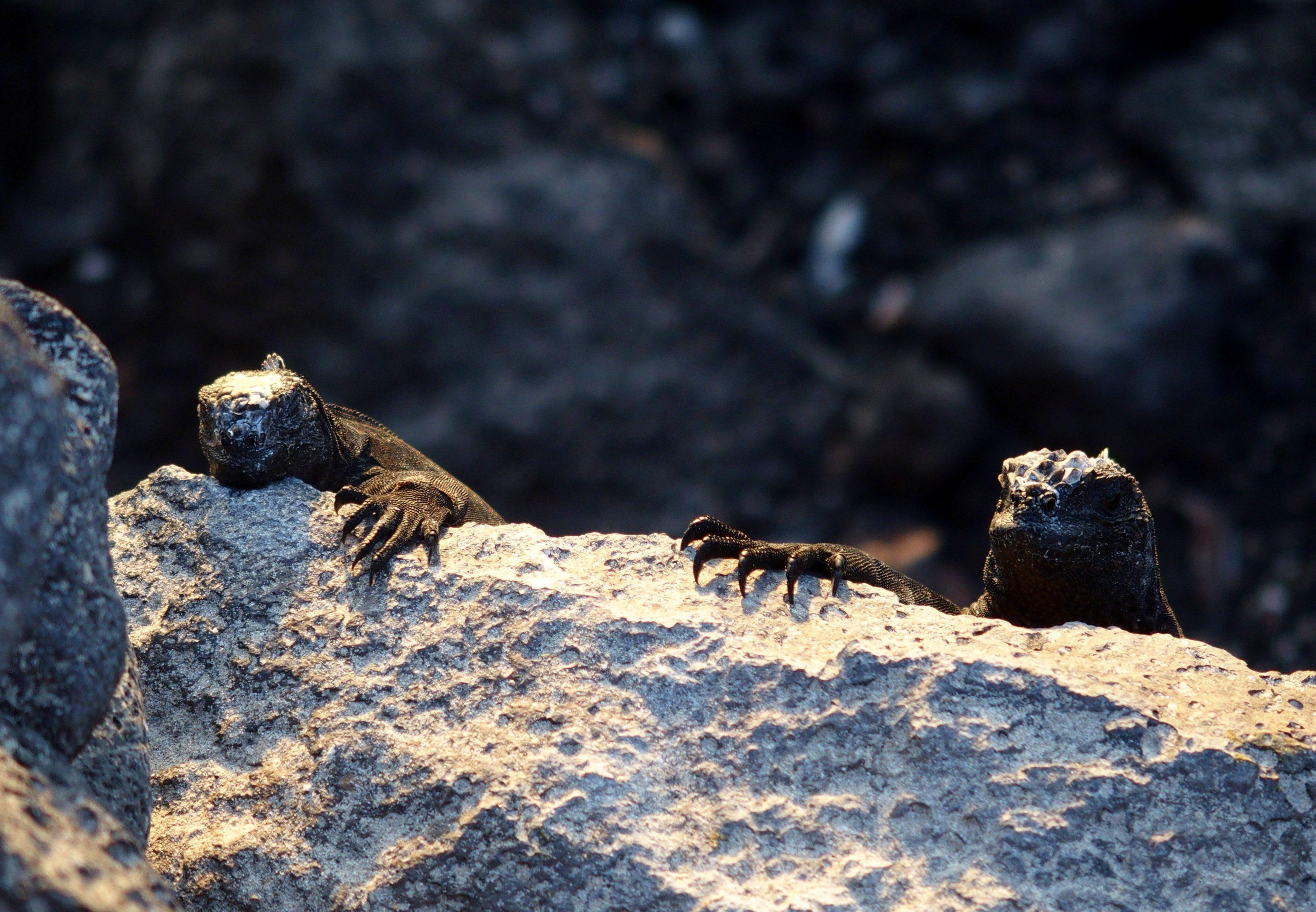 Bébés iguanes - Galapagos