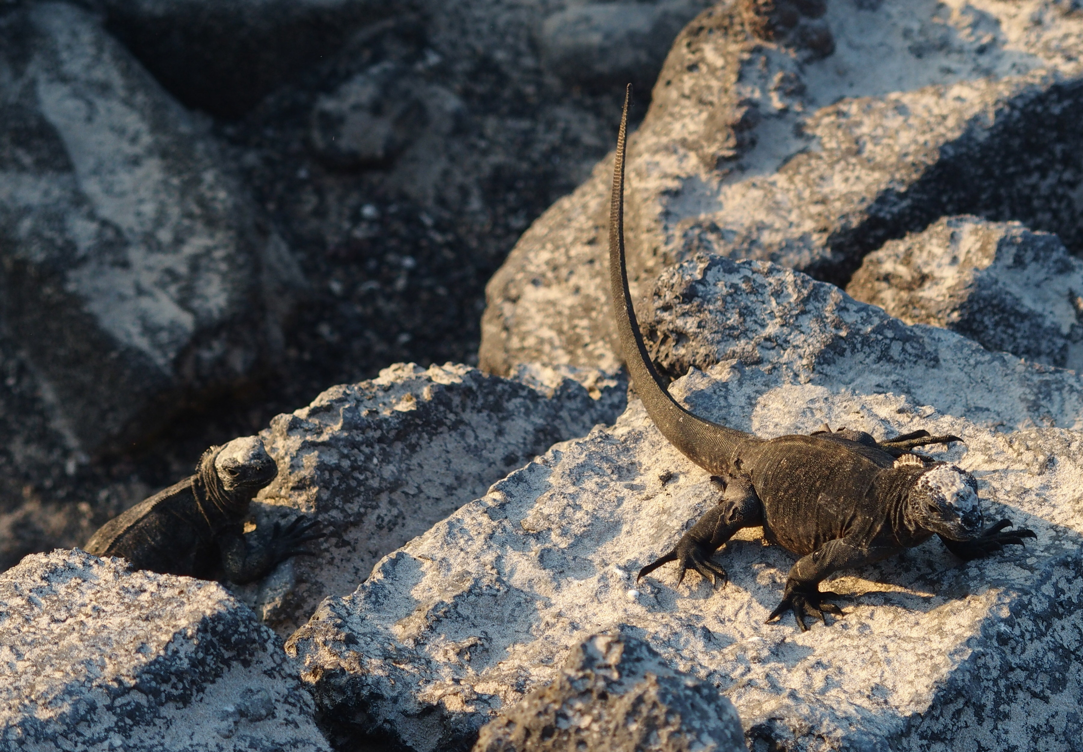 Iguanes sur rochers - Galapagos
