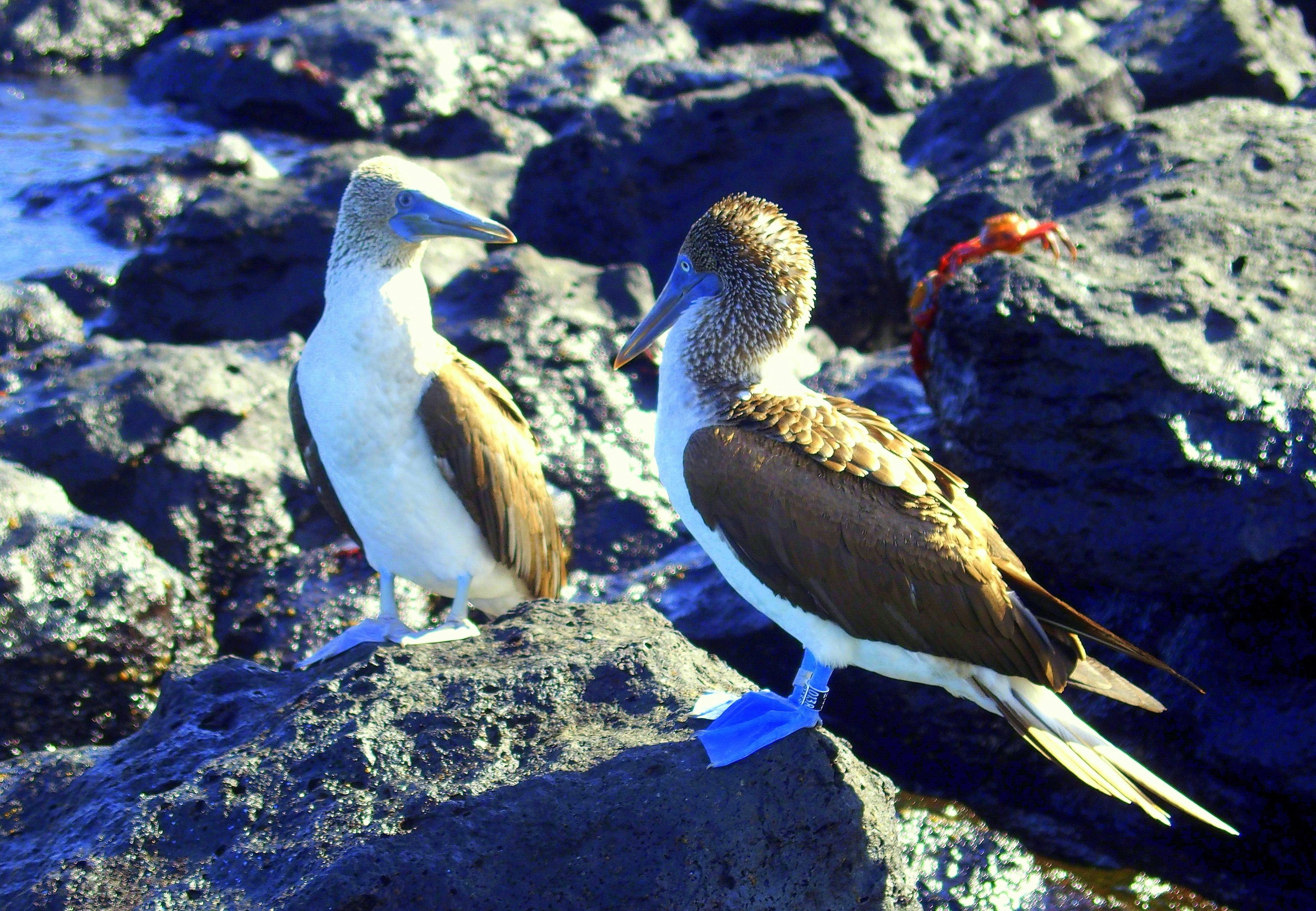 Fous à pattes bleues - Galapagos