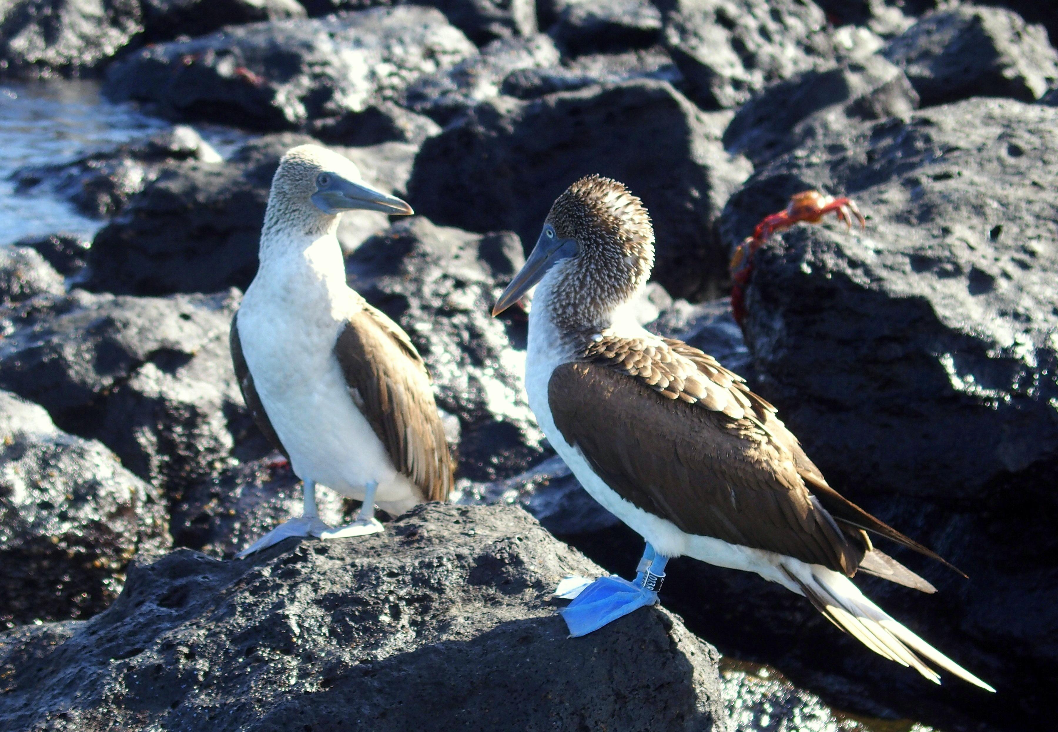 Fous bleus - Galapagos