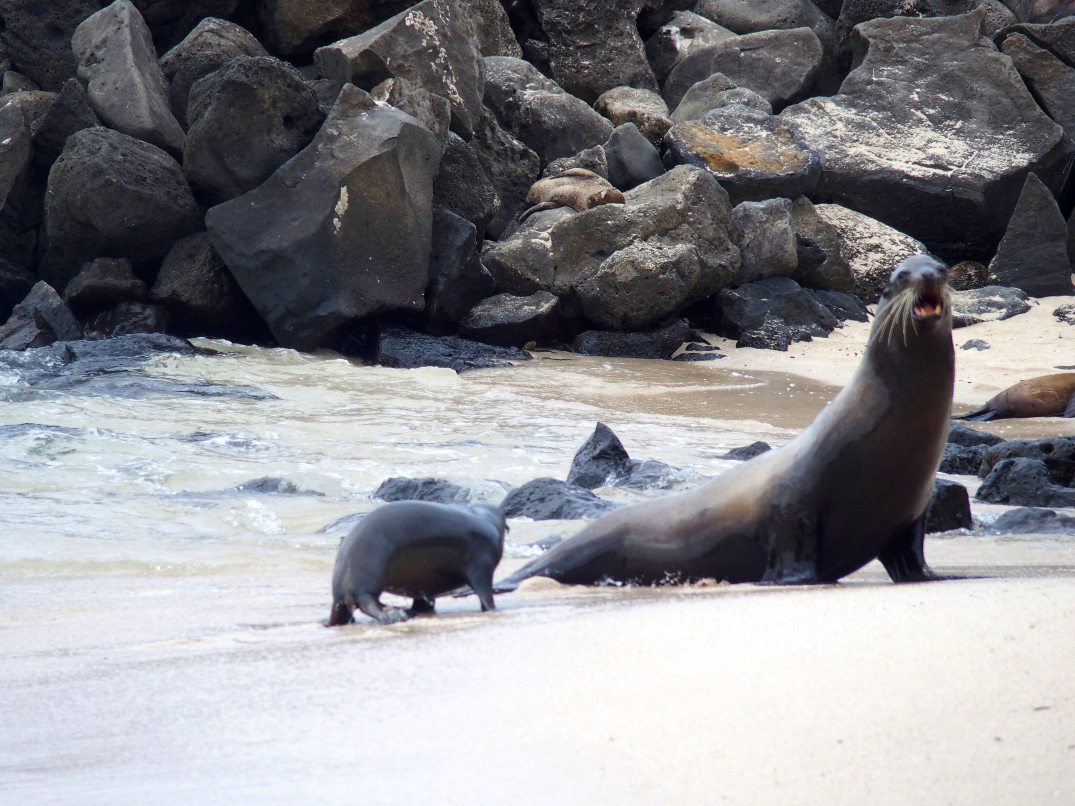 Maman otarie qui protège son petit - Galapagos