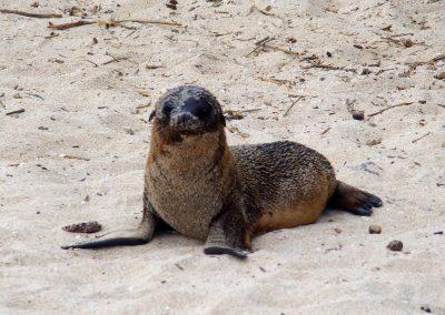 Jeune lion de mer  Galapagos