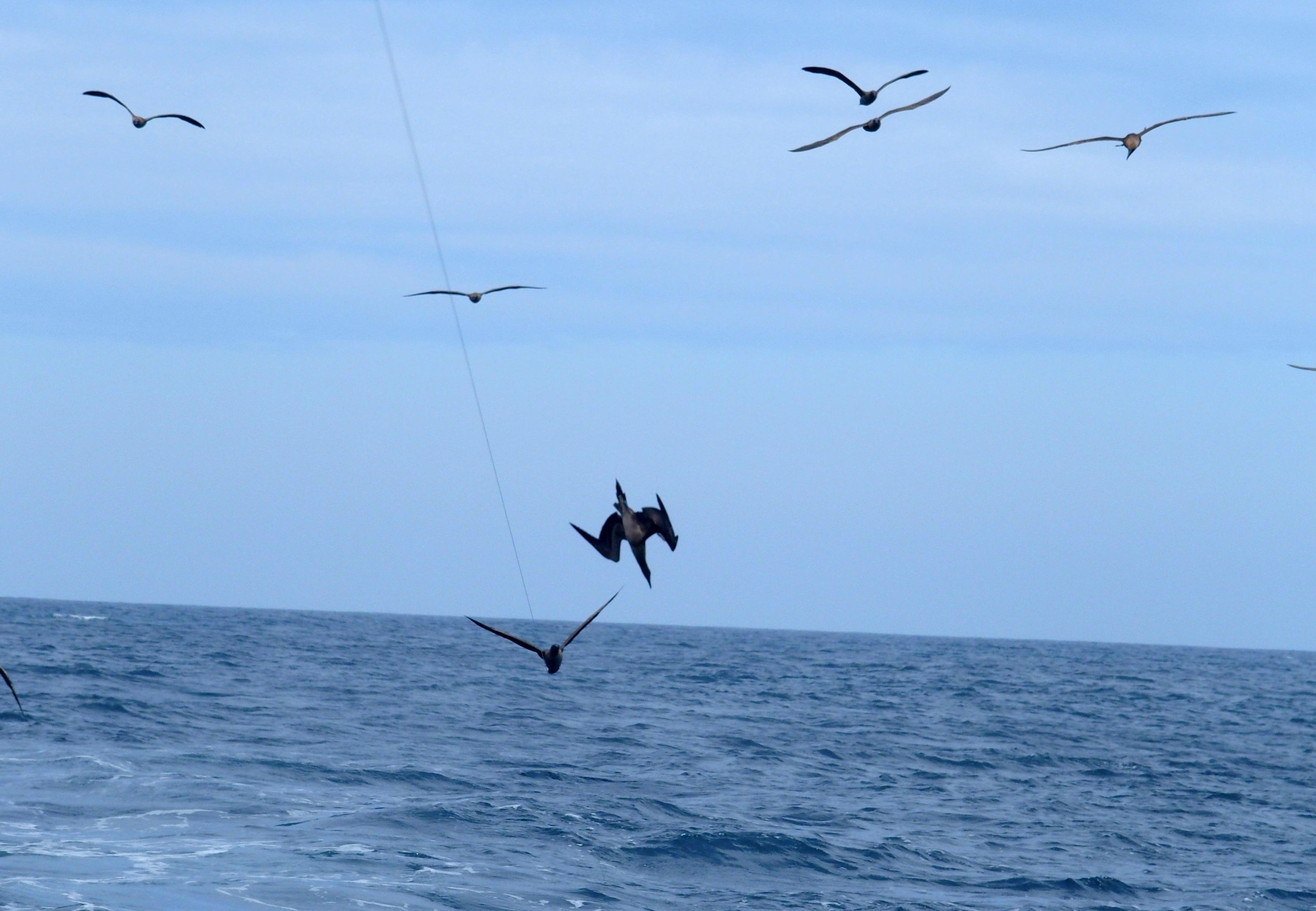 Plongeon d'un fou à pattes bleues - Galapagos