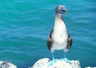 Fou bleu - Galapagos