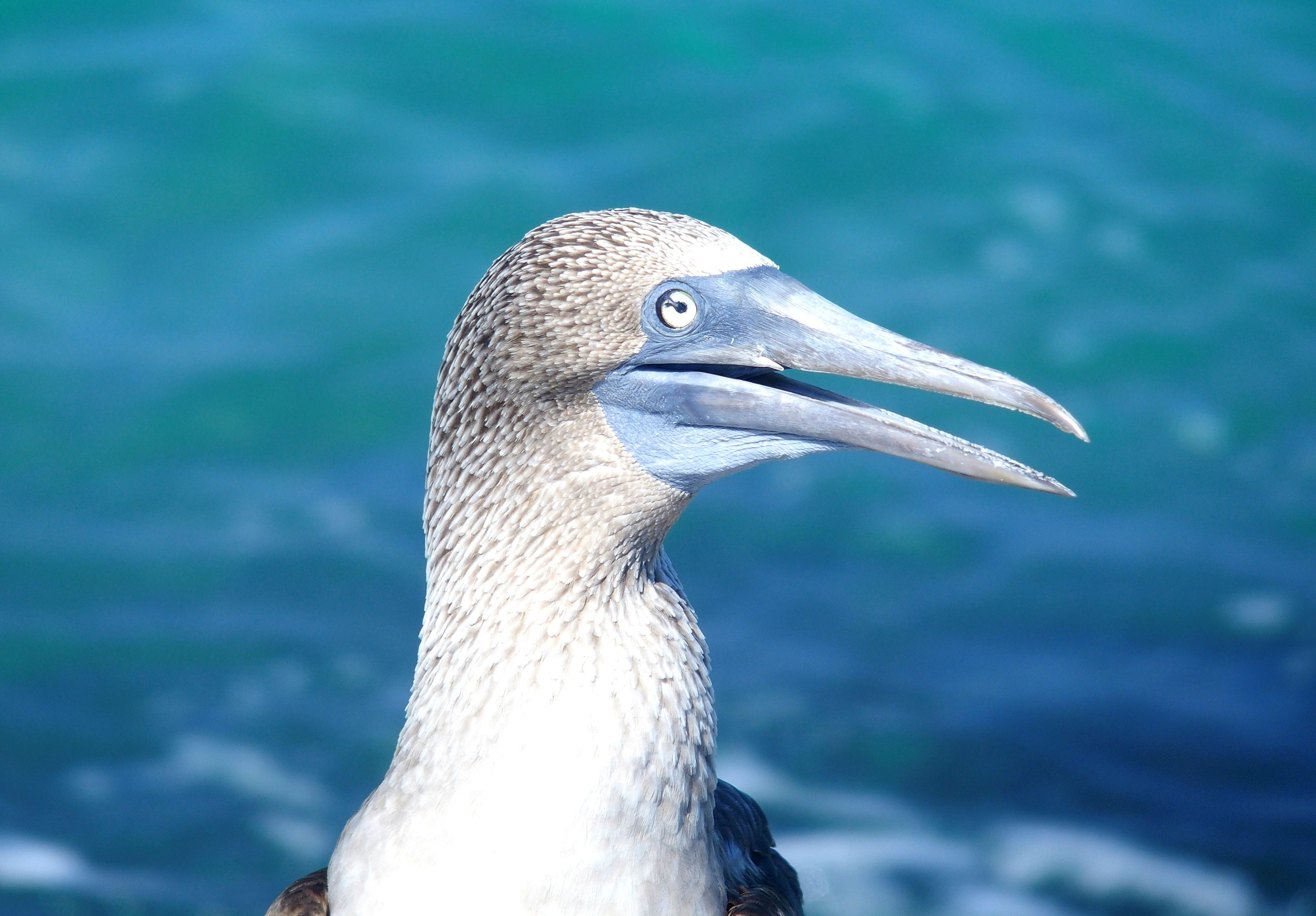 Fou à pattes bleues - Galapagos