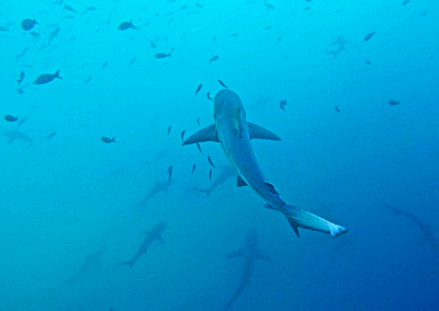 Requins à pointe blanche - Galapagos