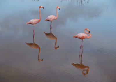 Flamantsroses-Galapagos