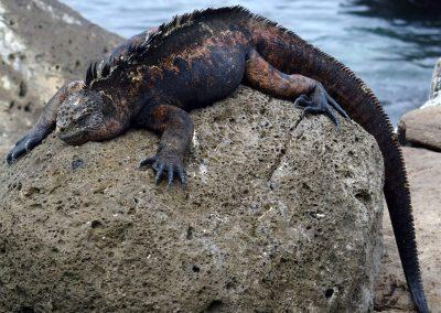 Iguane sur rocher - Galapagos