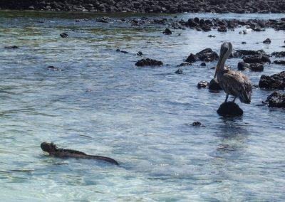 Iguaneetpélican-Galapagos