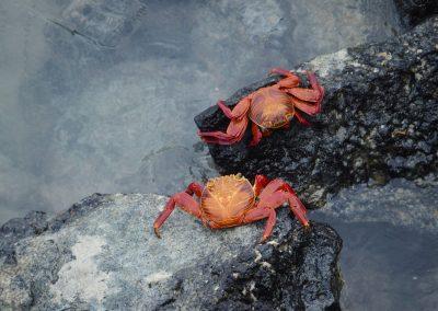 Crabes vermillon - Galapagos