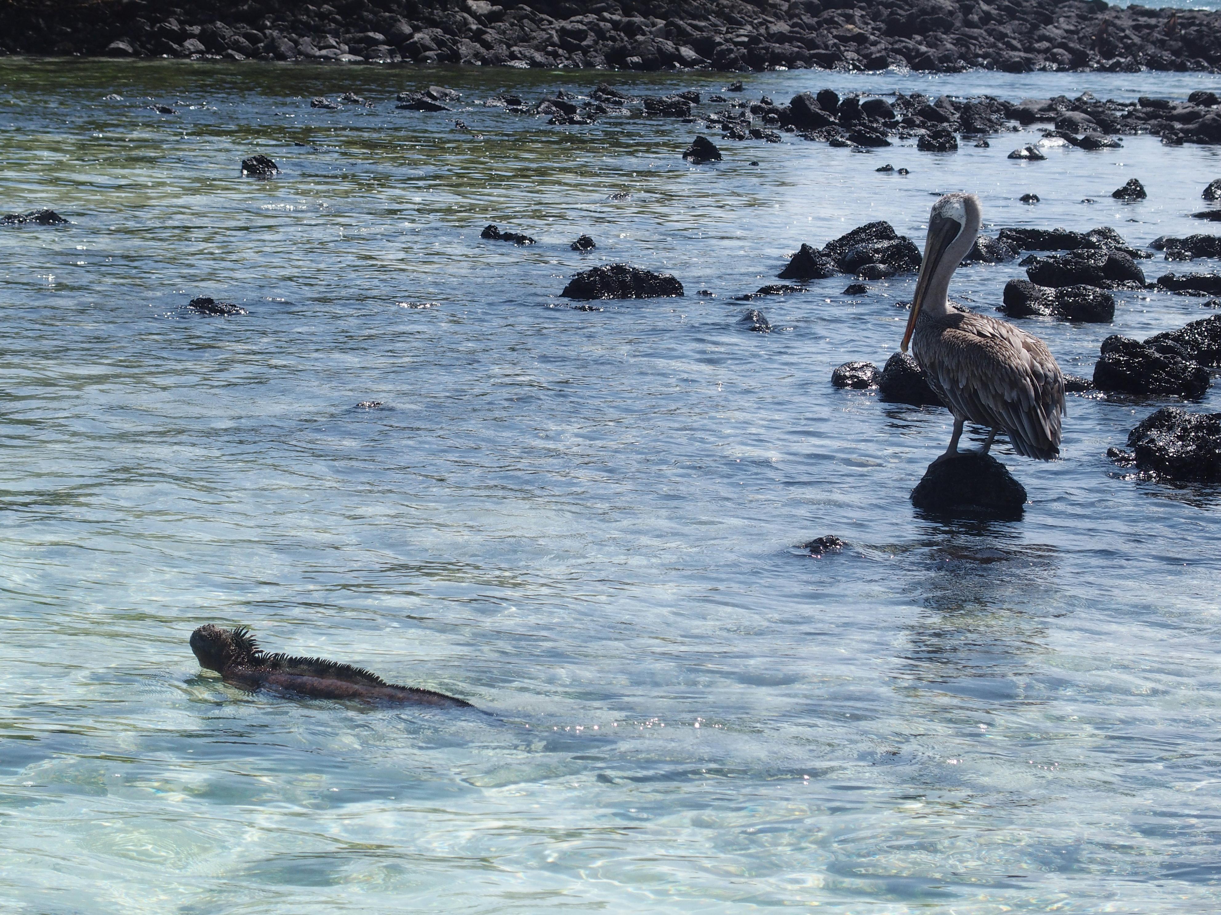 Pélican et iguane en bord de mer à Santa Cruz - Galapagos