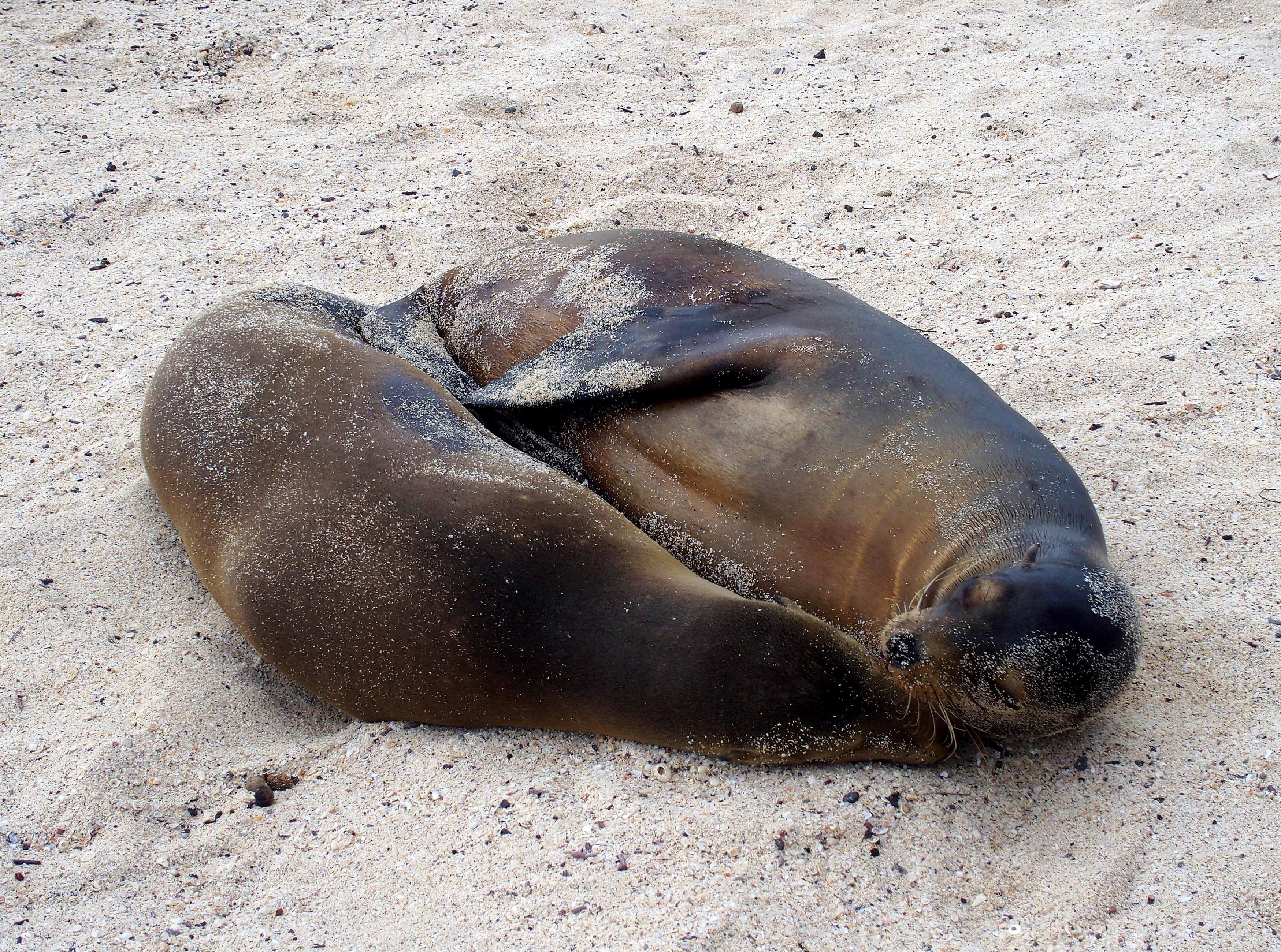 Câlin de lions de mer - Galapagos