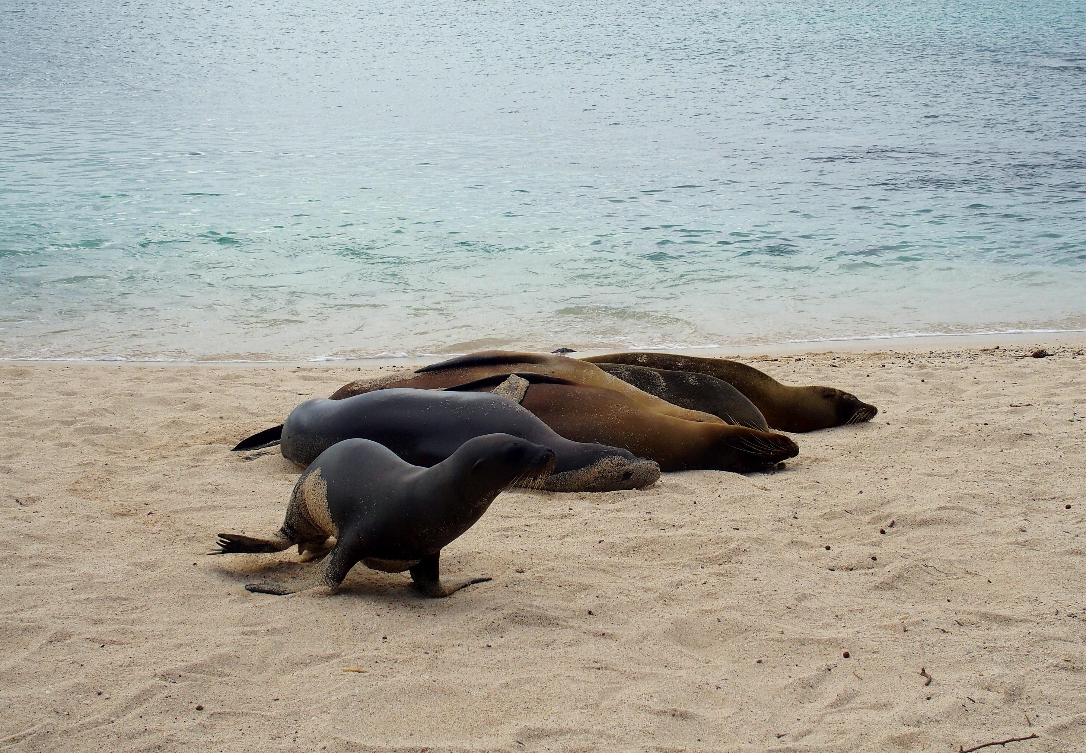 Lions de mer San Cristobal Galapagos