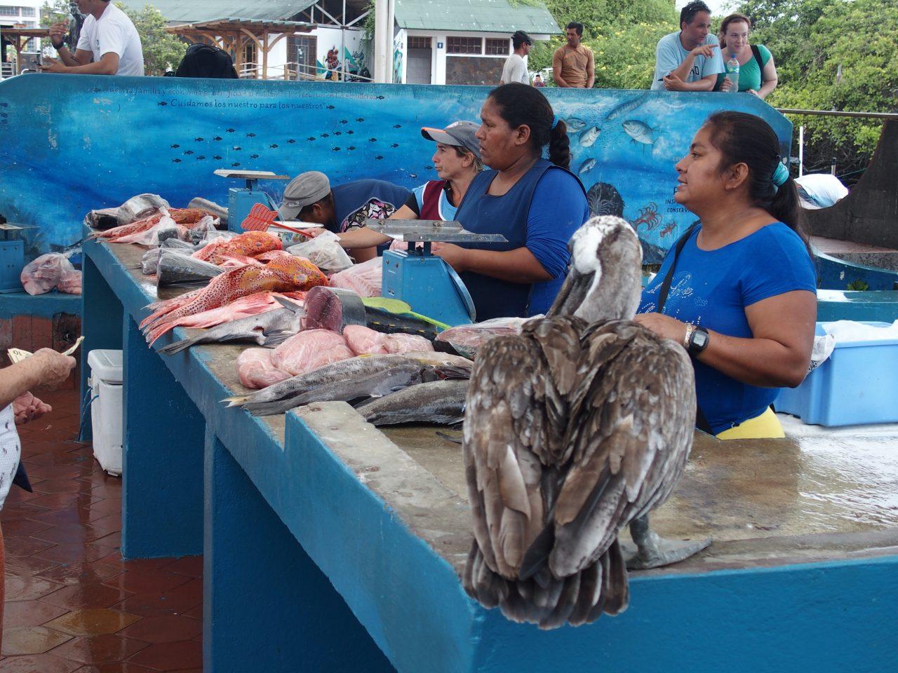 Pélican sur l'étal de poissons - Galapagos