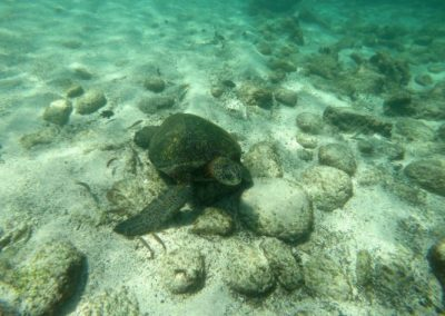 Tortue marine - Galapagos