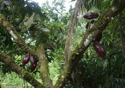 Cabosses cacaoier Equateur