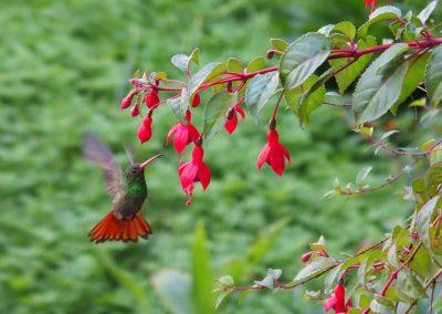Colibri en vol Colombie
