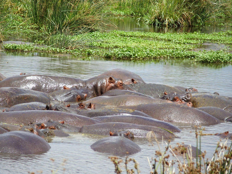 Hippopotames dans lac Ngorongoro Tanzanie