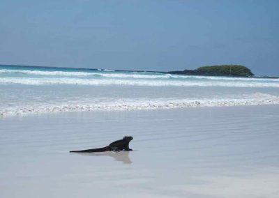 Iguane à la plage Galapagos Equateur